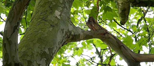 Massaria Disease in Plane Trees